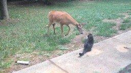Кошка против оленя смотреть видео прикол - 0:53