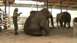 Смотреть Уложила слониху спать