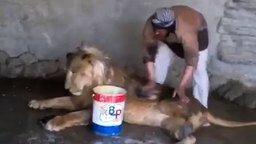 Смотреть Каково мыть льва