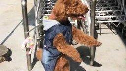 Пёс танцует в ожидании хозяина смотреть видео прикол - 0:37