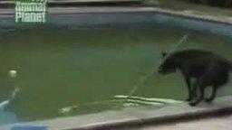 Смотреть Сообразительная собака в бассейне