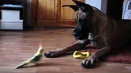 Попугай и немецкий дог смотреть видео прикол - 1:24