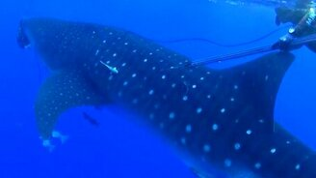 Смотреть Китовая акула напугала дайверов