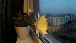 Смотреть Как цветёт кактус