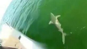 Смотреть Окунь клюнул на акулу