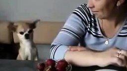 Смотреть Псинка выпрашивает клубнику