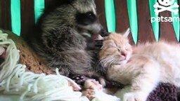Смотреть Малыш-енот забавляется с котёнком