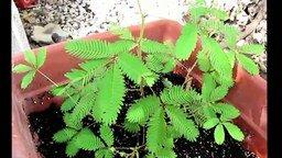 Смотреть Какое стыдливое растение