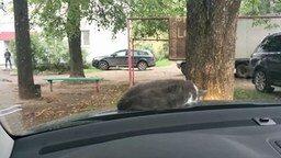 Смотреть Кошак на капоте