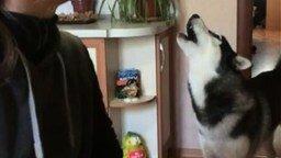 Девушка учит собаку выть смотреть видео прикол - 0:42