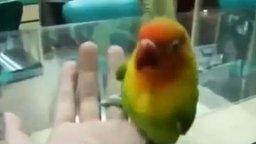 Смотреть Попугай имитирует звуки любви