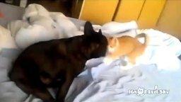 Кот завалил бульдога смотреть видео прикол - 0:20