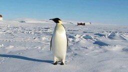 Смотреть Звуки, издаваемые пингвином