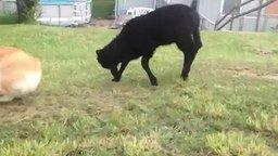 Смотреть Ягнёнок играет с собакой