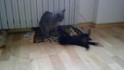 Смотреть Кошачья капоэйра