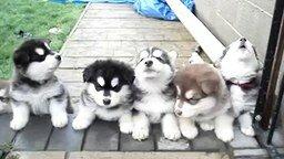 Смотреть Воющие щенята хаски