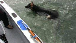 Смотреть Овчарка охотится на дельфинов
