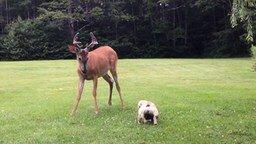Смотреть Бульдожик играет с оленёнком