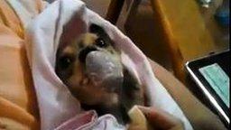 Кормёжка щенка с ложечки смотреть видео прикол - 1:10