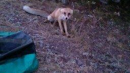 Смотреть Смелый дикий лисёнок