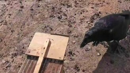 Смотреть Как ворон мышей ловит