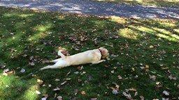 Смотреть Собака в осенних листьях