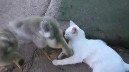 Смотреть Приставучий гусёнок и белый котик