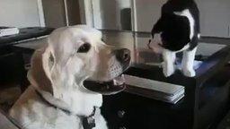 Смотреть Кошак пристаёт к псу