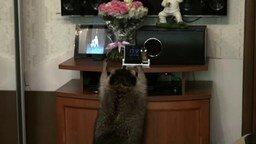 Смотреть Енот проказничает с розами