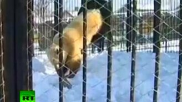 Настоящий сибирский медведь смотреть видео прикол - 1:04