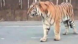 Встреча с тигром на дороге смотреть видео прикол - 3:07