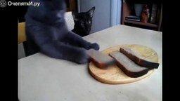 Смотреть Серый наглый котяра пытается украсть хлеб