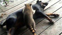 Смотреть Назойливый енот и добрый пёс