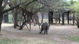 Смотреть Жираф проучил игривого носорожика