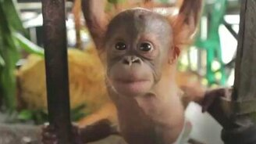 Смотреть Ясли для малышей орангутанов