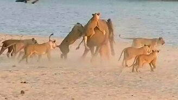 Слонёнок против львиного прайда смотреть видео прикол - 2:49