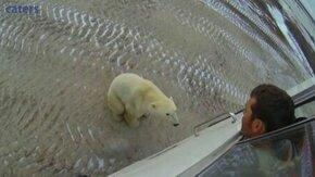 Смотреть Белый медведь пришёл познакомиться