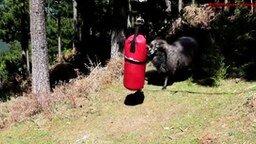 Смотреть Лучший соперник для барана