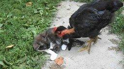 Смотреть Курочка ищет у котёнка блох