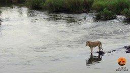 Смотреть Крокодил атакует льва