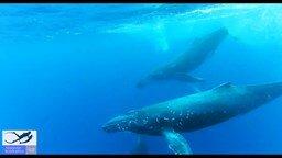 Свободное плавание с китами смотреть видео прикол - 3:15