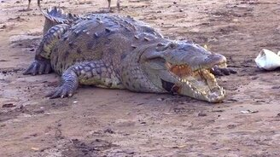 Смотреть Встреча с диким крокодилом