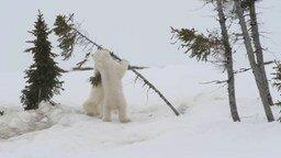 Смотреть Полярные медвежата играются
