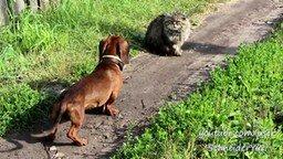 Отважный котяра против таксы смотреть видео прикол - 0:56