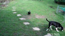 Смотреть Селезень не даёт покоя собаке