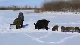 Смотреть Дикие свинотки оголодали