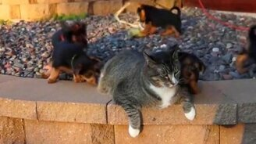 Смотреть Котяру атакуют собаки