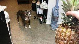 Неведомый ананас и смелый пёс