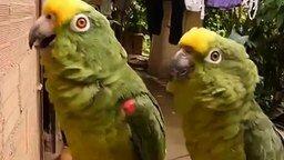 Смотреть Попугаи-артисты