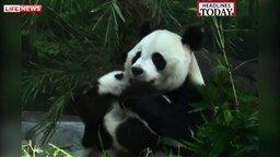 Смотреть Воссоединение семьи панд